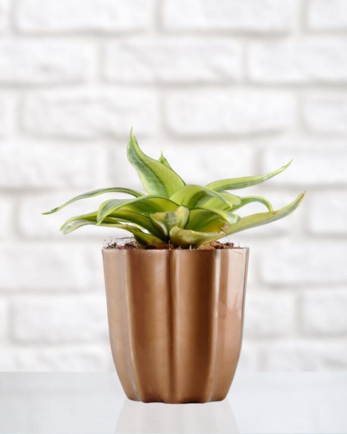 Snake Plant (Sansevieria) Golden - Unlimited Greens