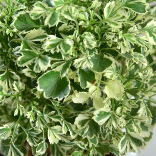Aralia variegated – close
