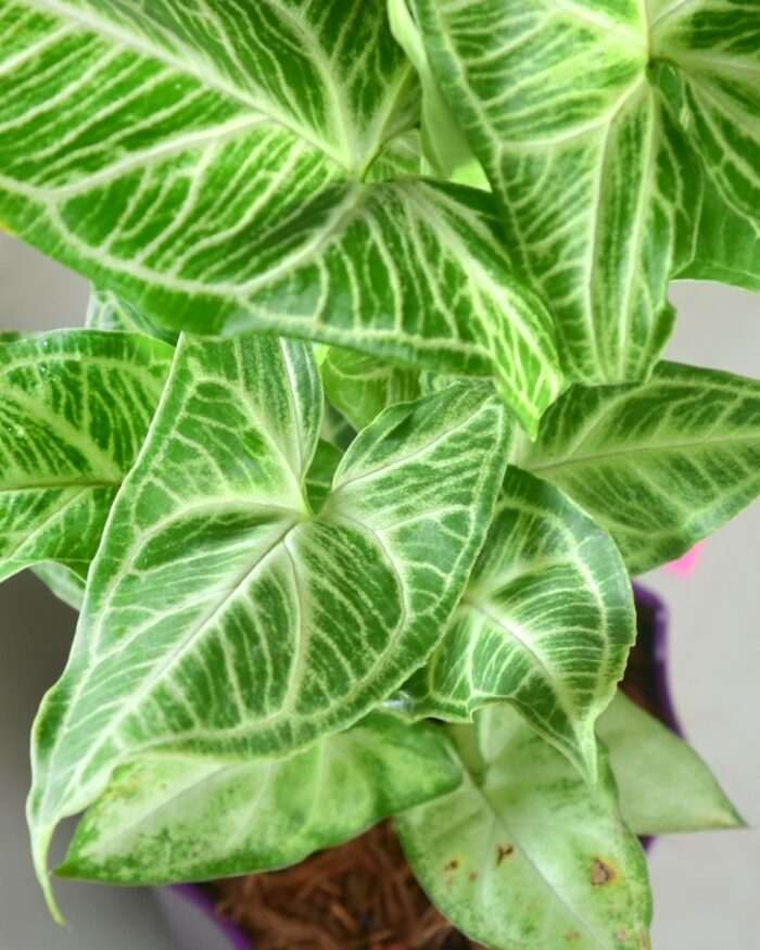 Syngonium podophyllum white butterfly, Unlimited Greens