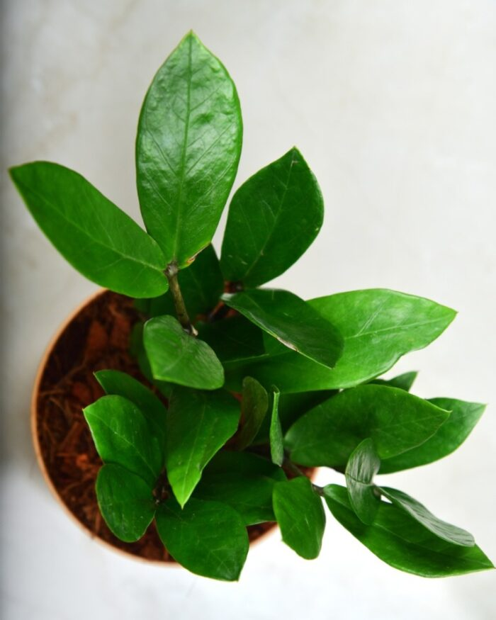 ZZ plant online India, Unlimited Greens