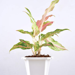 Aglaonema Thai Small