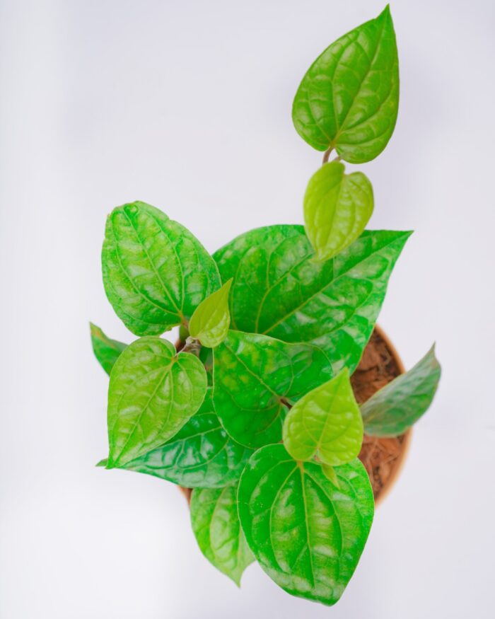 paan plant price, Unlimited Greens