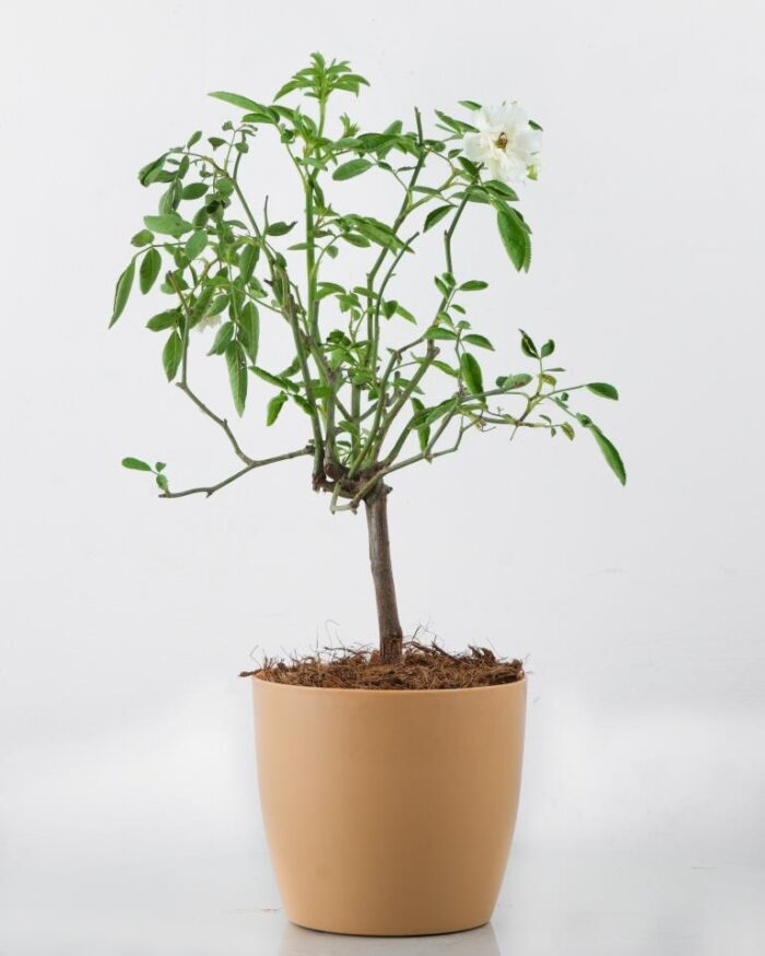 White Rose Creeper Plant Online at Best Price - Unlimited Greens