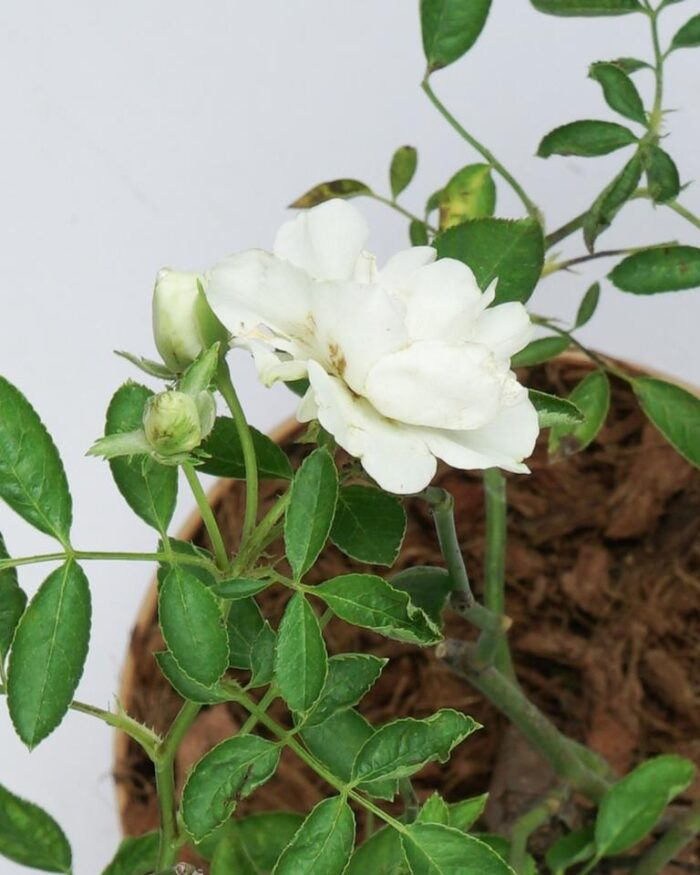 White rose creeper - Unlimited Greens