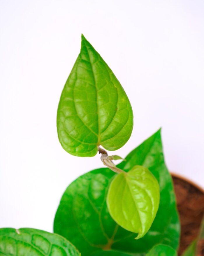 Paan plant care, Unlimited Greens