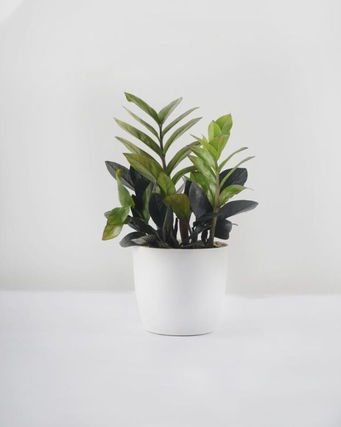 Raven ZZ Plant Online at Best Prices - Unlimited Greens