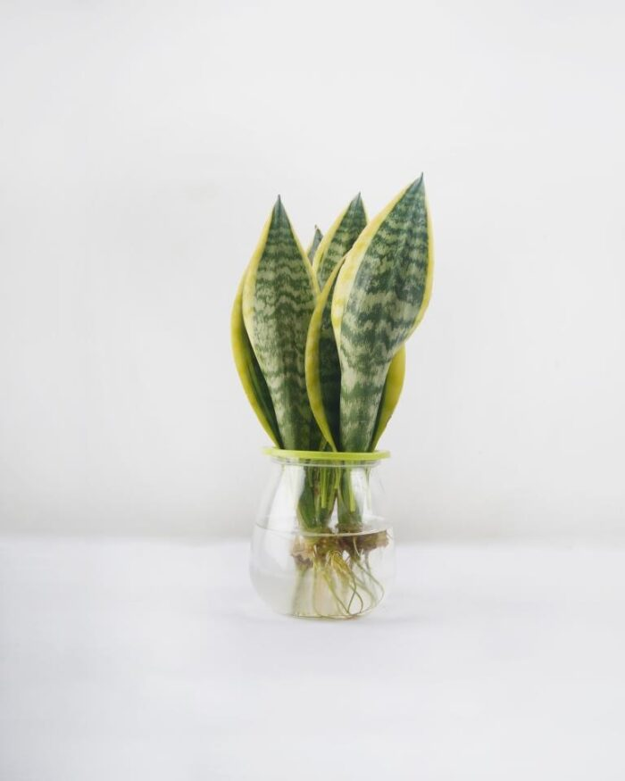 Snake Plant (In water) - Unlimited Greens
