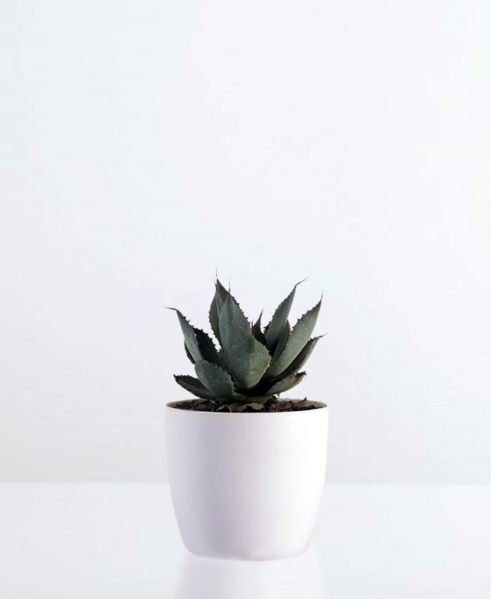 Parry's Agave - Unlimited Greens