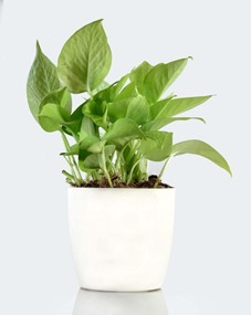 Golden Money plant for sale - Unlimited Greens