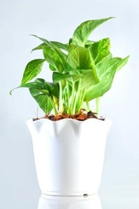 green money plant for sale - Unlimited Greens