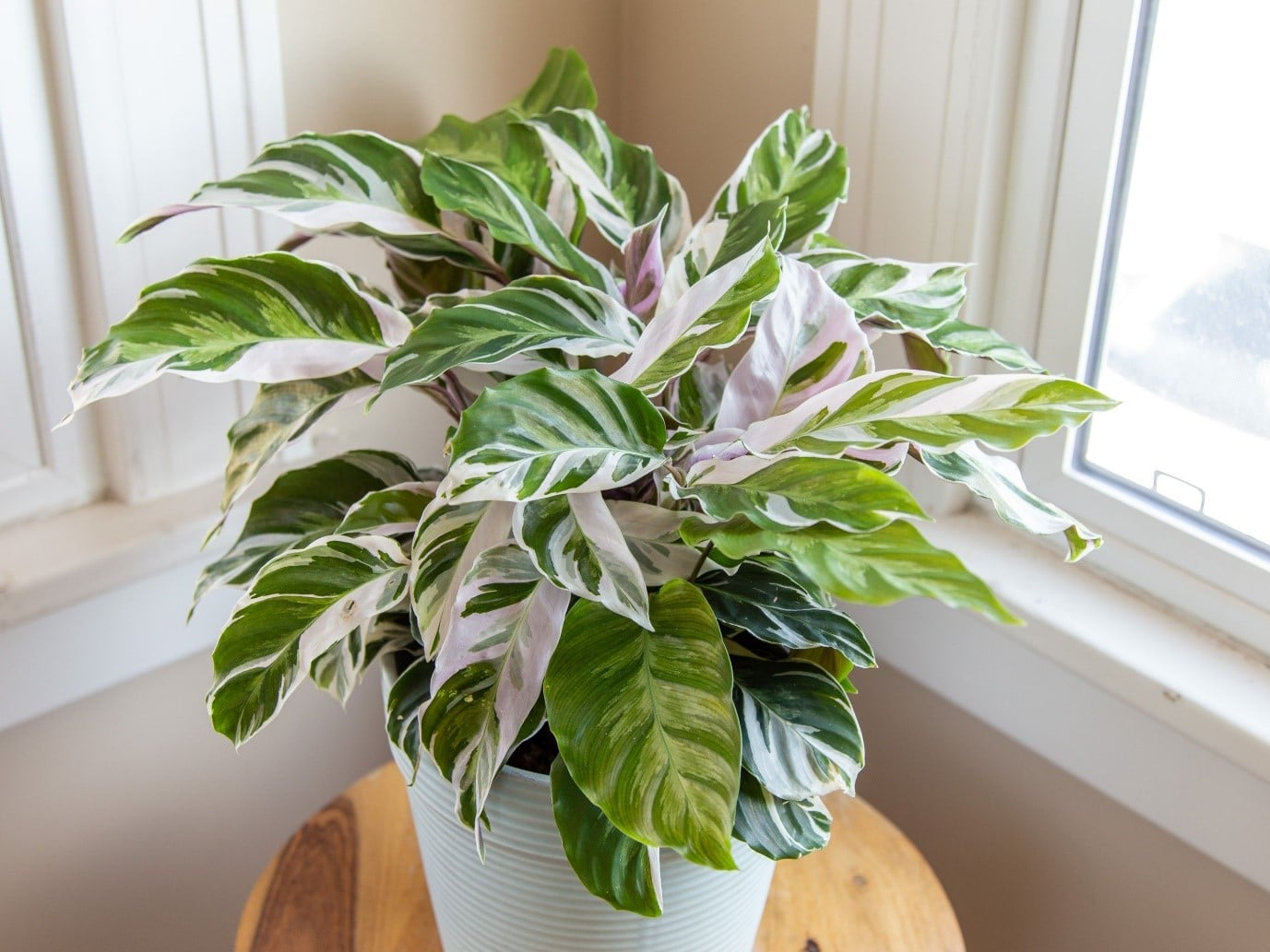 Care for Varieties of Calathea