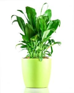 Peace Lily benefits - Unlimited Greens