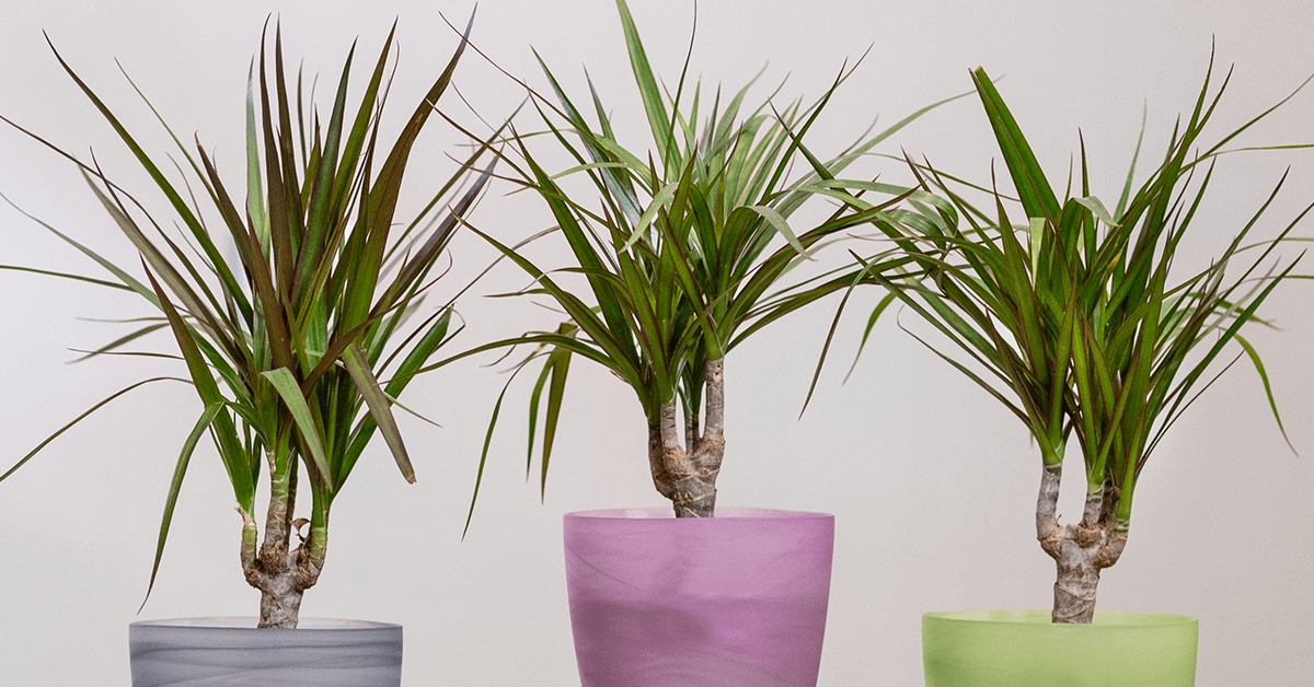 What Should You Do If Your Dracaena Plant Has BrownYellow Spots